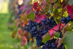 oplev en dansk vingaard hos modavi romantisk oplevelse